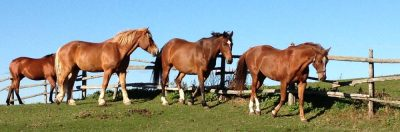Horses by fence